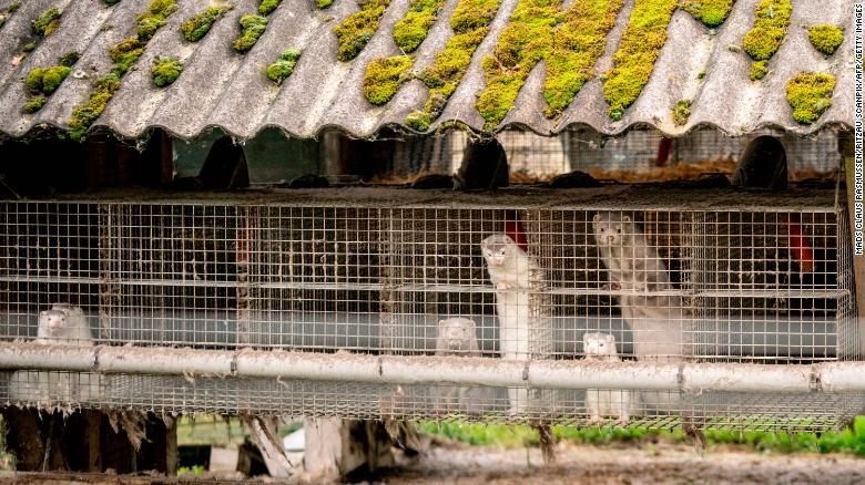 More than 1 million mink will be killed to help contain a series of Covid-19 outbreaks on Danish farms