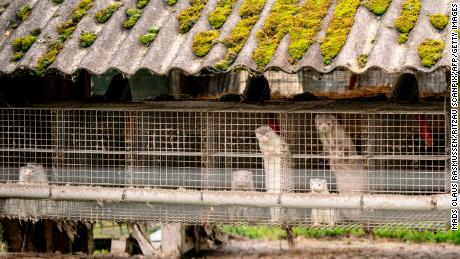 Mink are seen at a mink farm in Denmark where dozens of farms must cull their herds amid a spike in Covid-19 cases among the animals.