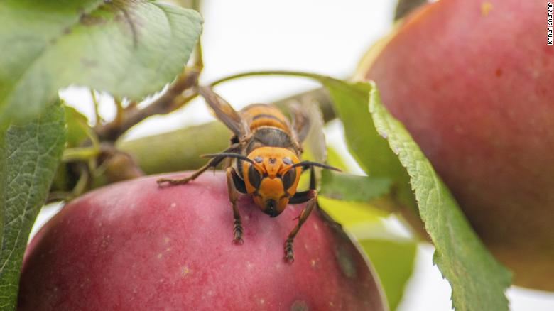 The captured Asian giant hornet on the apple tree.