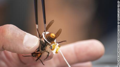A live Asian giant hornet is affixed with a tracking device using dental floss on October 7 before being released in a photo provided by the Washington State  Department of Agriculture.