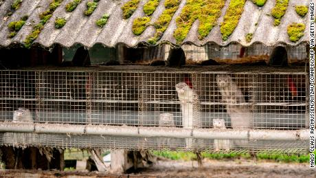 Mink are seen at a farm in Gjol, northern Denmark on October 9, 2020.