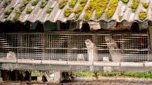 El gobierno danés a principios de este mes ordenó a las granjas de visones sacrificar a más de 1 millón de animales.