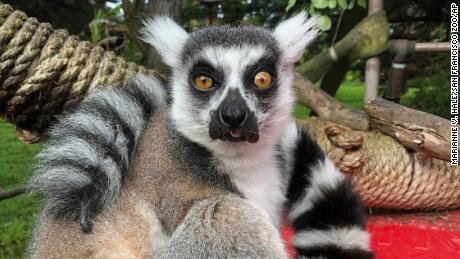 Maki, who wears a perpetually alarmed expression on his petite face, is considered a senior lemur. Zoo staff worried his health would be compromised during his abudction.