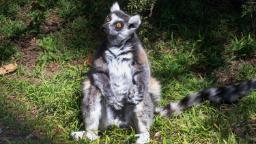 An endangered lemur that went missing from a California zoo turned up at a church playground