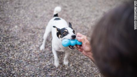 A dog plays with a Rumpus chew toy made by West Paw.