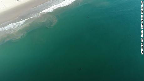 A group of sharks tagged this year swimming off the coast of Southern Calironia.