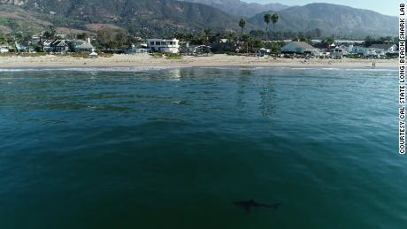 One of the sharks tagged this year swimming off the coast of Southern California.