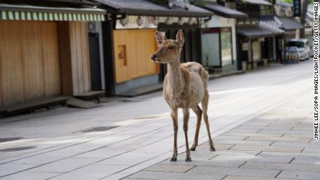 NARA, JAPAN - 2020/06/17: A sika deer walks on a footpath at the deserted Todaiji Temple. The UNESCO World Heritage listed temple is reopened as the state of emergency has been completely lifted. Japan received an estimated 1,700 foreign travelers in May, the lowest since 1964 when the government started the survey. (Photo by Jinhee Lee/SOPA Images/LightRocket via Getty Images)