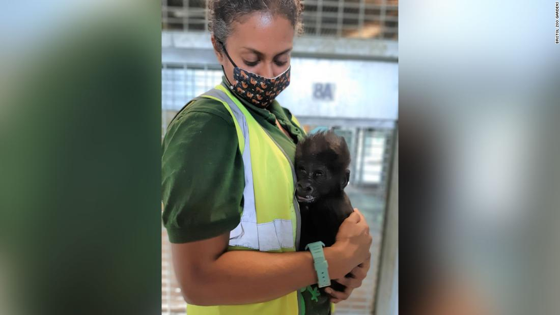 Baby gorilla hand-reared by zookeepers in Bristol