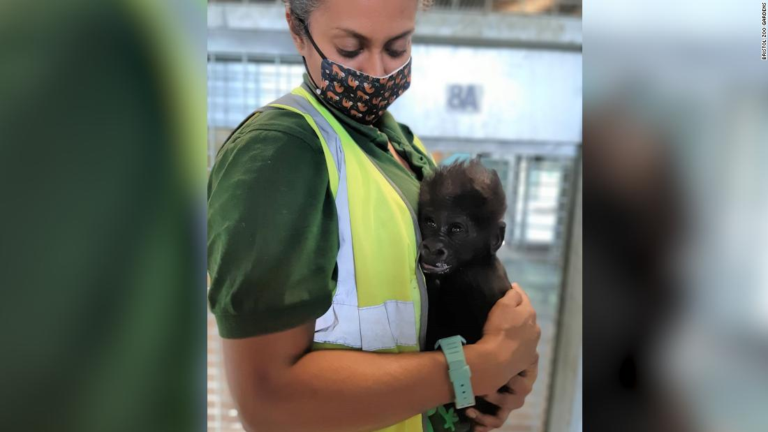 Watch this baby gorilla being hand-reared by zookeepers