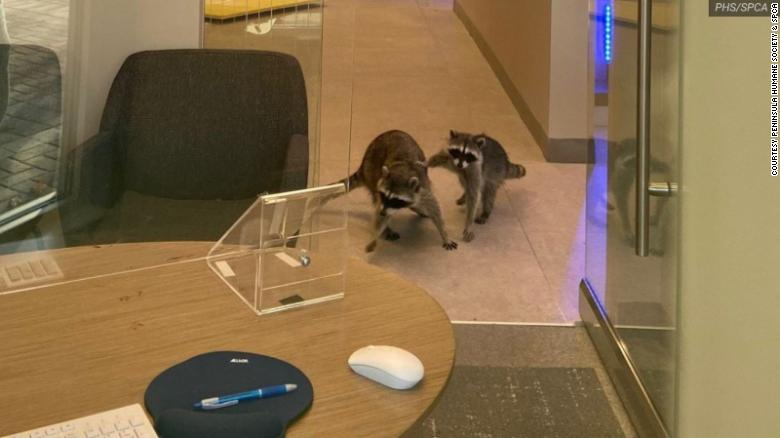 How a pair of raccoons (probably) broke into a bank