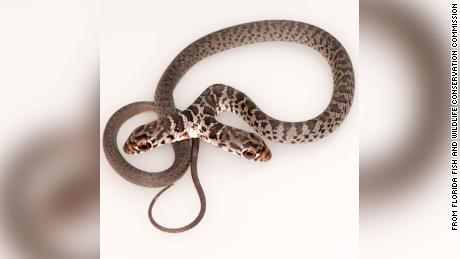 Two-headed snakes won't last very long in the wild, since both heads could make different decisions.