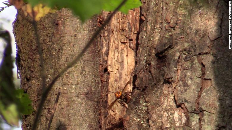 'Murder hornet' nest found in Washington believed to be first in the US