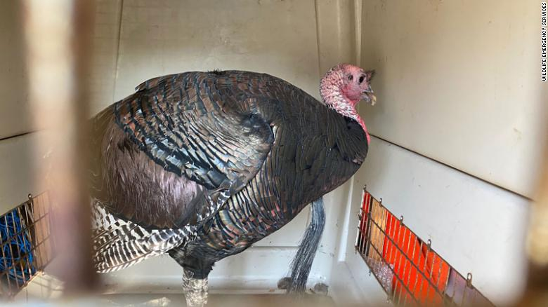 An aggressive turkey named 'Gerald' that terrorized an Oakland neighborhood is safely relocated