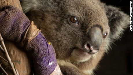 Policy makers, farmers and everyday citizens need to focus more on environmental preservation in order to protect koalas and other Austalian wildlife, researchers say.