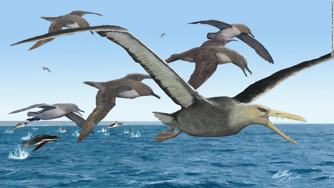 Antarctic fossil could have been the biggest flying bird ever study finds – CNN