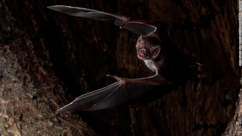 Even vampire bats know to socially distance themselves when they get sick, study says