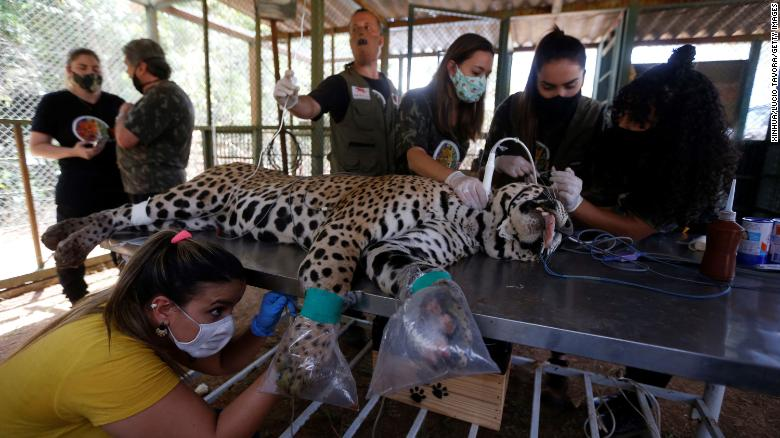 Staff members treat a wounded jaguar at an animal protection center in Goias State, Brazil, on September 27, 2020.