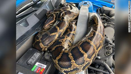 Burmese pythons are considered invasive in Florida because they eat native animals. This snake had slithered its way under the hood of a Ford Mustang.