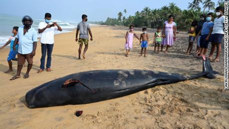 Un globicéphale mort sur une plage de la côte ouest du Sri Lanka après un échouage massif.