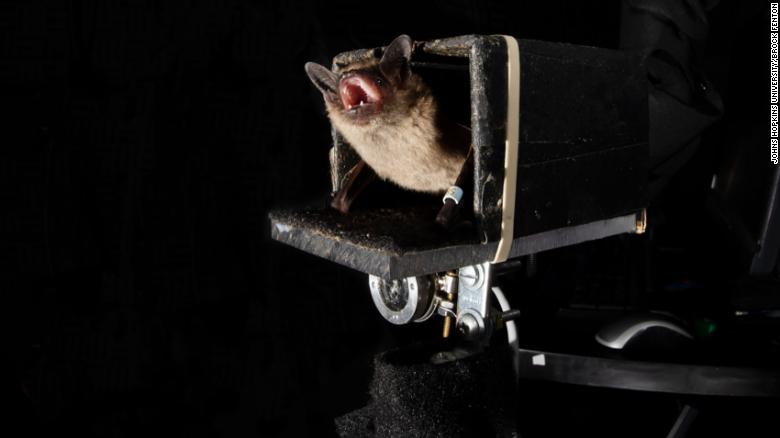 Bats can predict the future to hunt their prey, Johns Hopkins researchers find