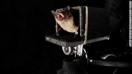 Raziskovalci Johns Hopkins ugotavljajo, da lahko netopirji napovedujejo prihodnost, ko gre za lov na plen