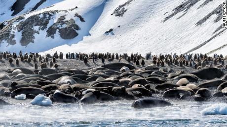 Southern Elephant Seals and King penguins on South Georgia Island.