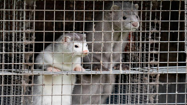 Denmark plans to cull up to 17 million mink to stop mutated coronavirus