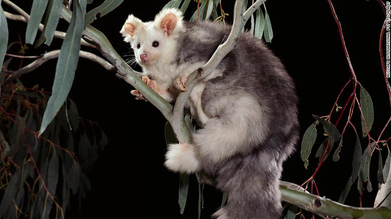 Scientists discover two new marsupial species in Australia