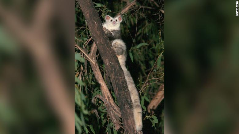 The southern species of the greater glider.