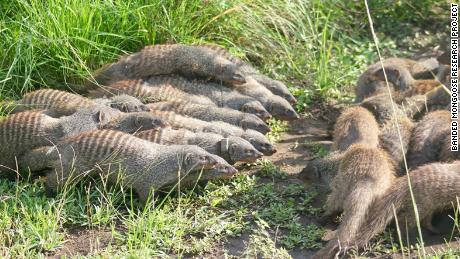 Female mongooses deliberately start fights so they can sneakily mate with males from a rival pack, researchers found.