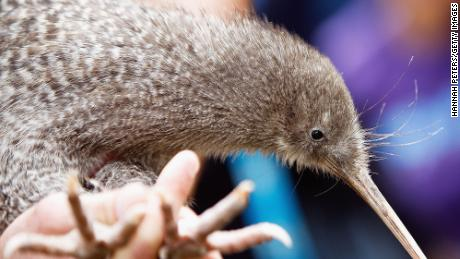 The little spotted kiwi was another contender for the prize.