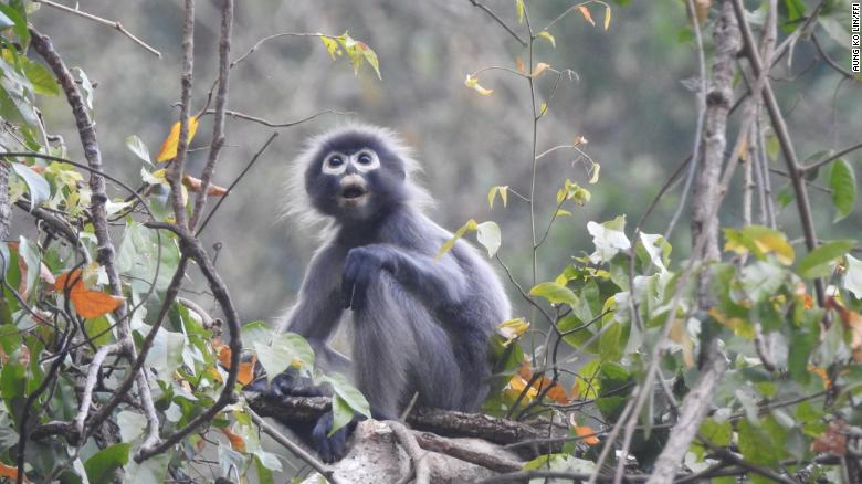 A Popa langur photographed at Mount Yathe Pyan in Myanmar.