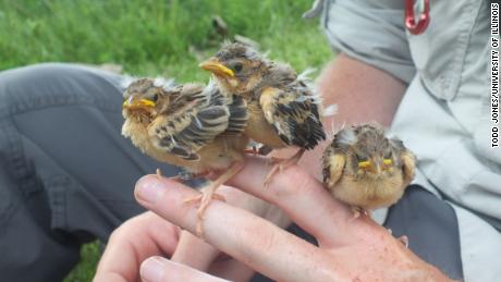 These nestling dickcissels are close to fledging.