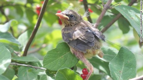 A radio-tagged fledgling common yellowthroat is shown here.