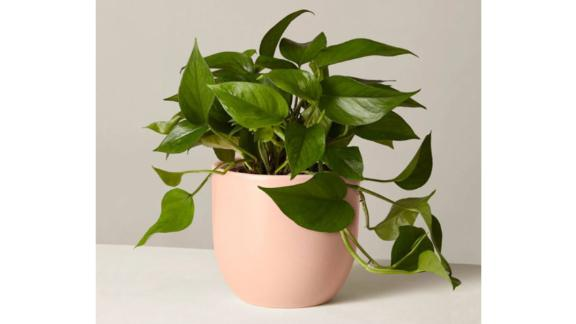 The Sill Jade Pothos Plant