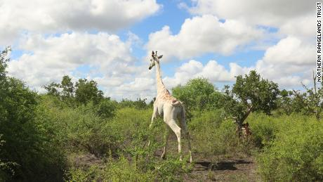 The world's only known white giraffe lives in the Ishaqbini Community Conservancy, Garissa County.