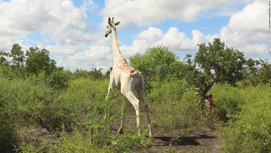 World's only known white giraffe gets fitted with a tracking device