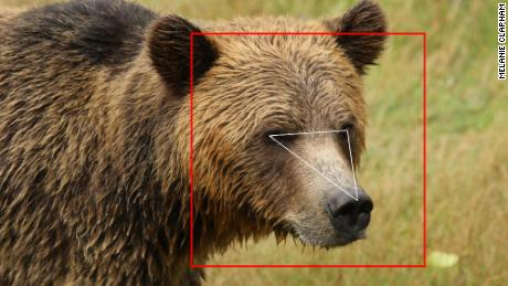 Face recognition isn't just for humans, it also learns to recognize bears and cows