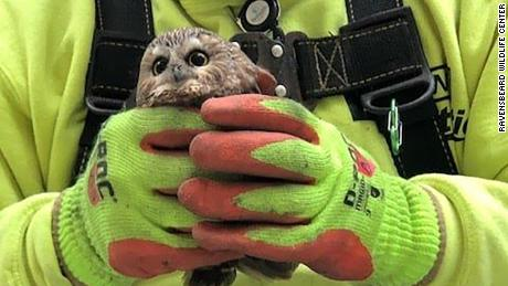 A tiny owl hitched a ride on the Rockefeller Christmas tree
