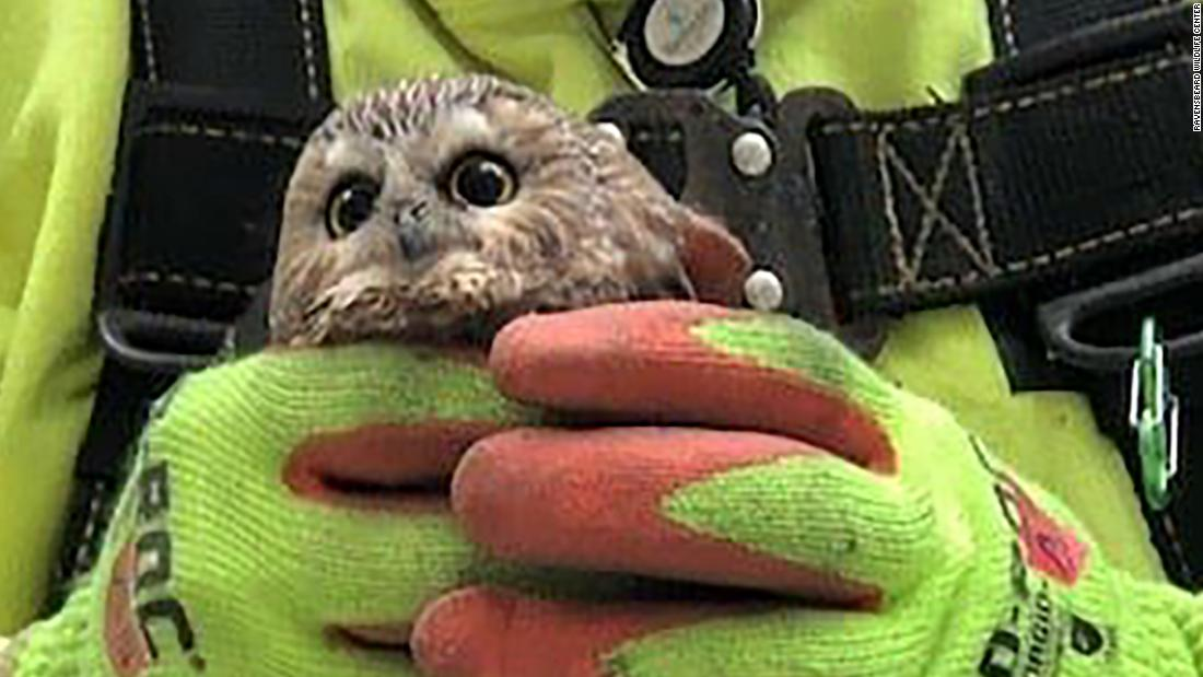 Owl being held by worker with gloves.