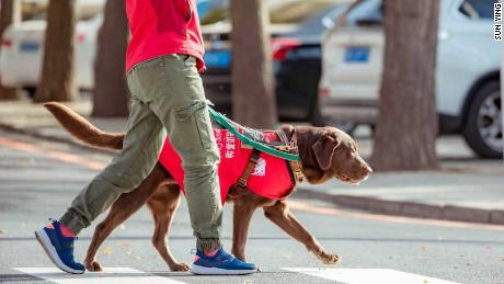 An instructor at China Dalian Guide Dog Training Center trains a Labrador to cross the road.