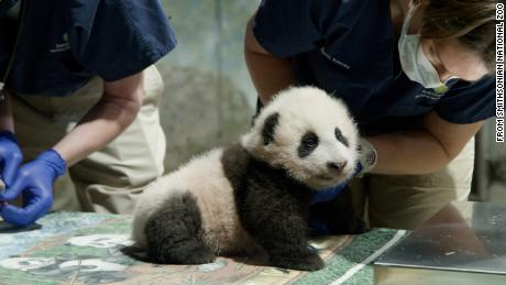 "After five days of voting and just under 135,000 votes, the panda cub at the Smithsonian's National Zoo is named Xiao Qi Ji (SHIAU-chi-ji), which translates as ""little miracle"" in English."