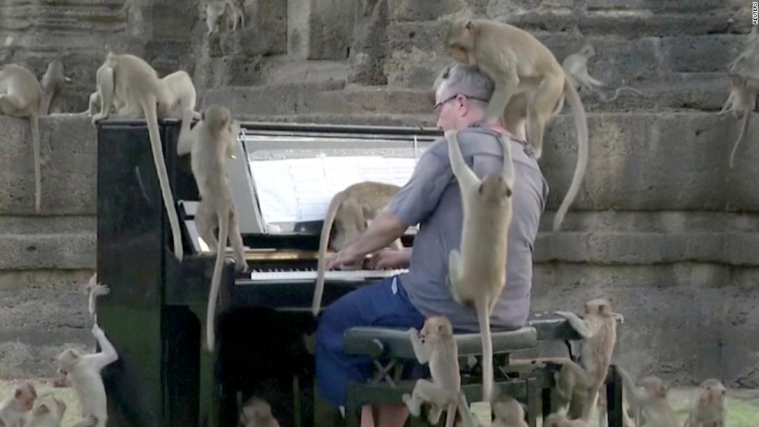 Calming monkeys with piano music is harder than you think