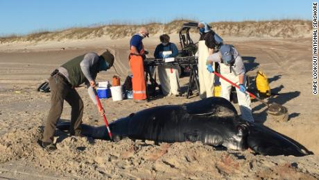A whale stranding response team tending to a North Atlantic right whale calf that was discovered dead on the shore of a barrier island off North Carolina on Friday.