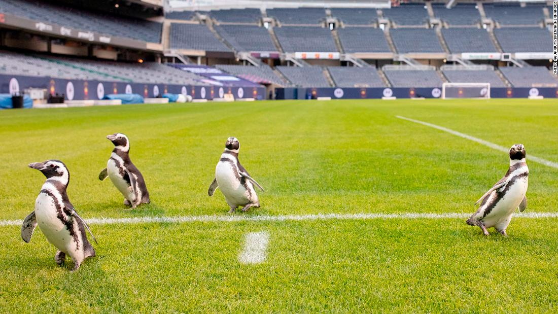 Watch penguins take over an NFL field