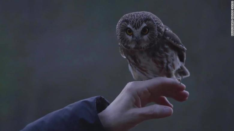 Rockefeller, the tiny owl that captured our hearts, is back in the wild