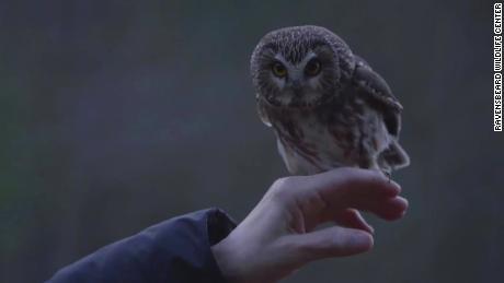 Rockefeller, the owl that stowed away and traveled on the Rockefeller Christmas tree last week, was released into the wild Tuesday