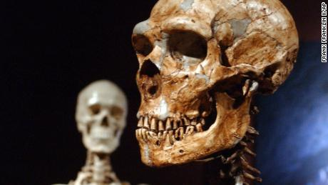This file photo shows a reconstructed Neanderthal skeleton (right) and a modern human version of a skeleton (left) on display at the American Museum of Natural History in New York.