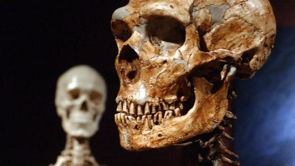 A Neanderthal skeleton (right) and a modern human version (left) at the American Museum of Natural History in New York.